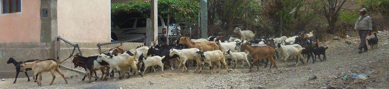 Goats in tejahuasi