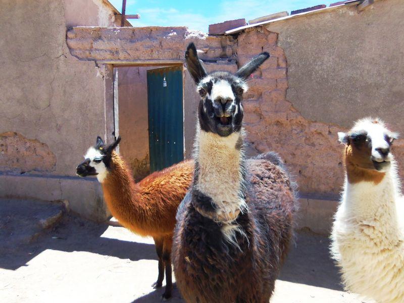 100_1833 llamas compressed
