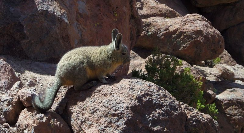 100_1995 viscacha compressed