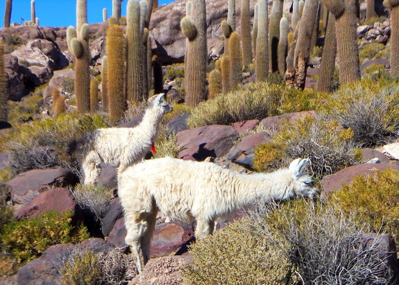 100_1871 llamas on isla huasi compressed