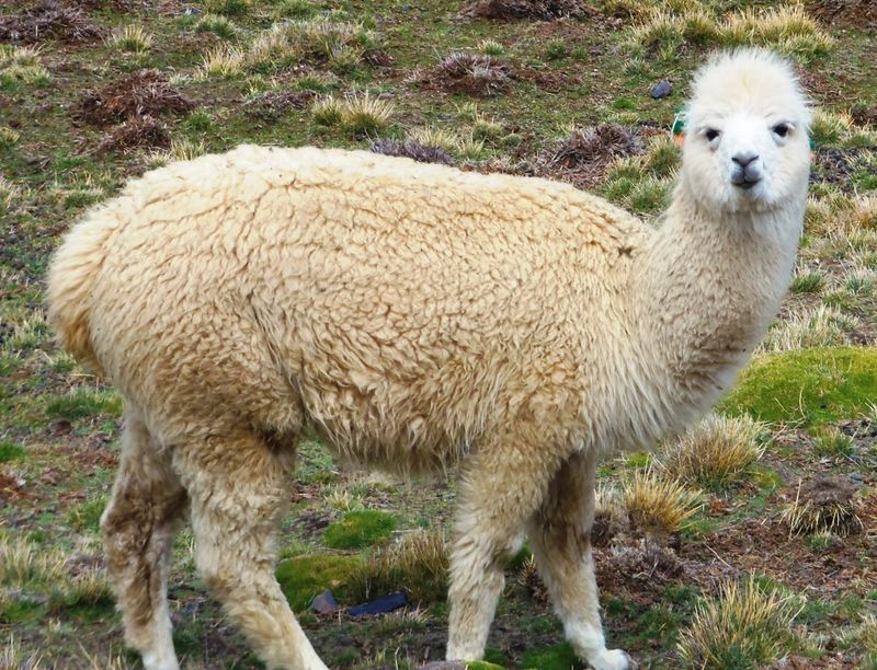 Alpaca, Pampalarama, compressed