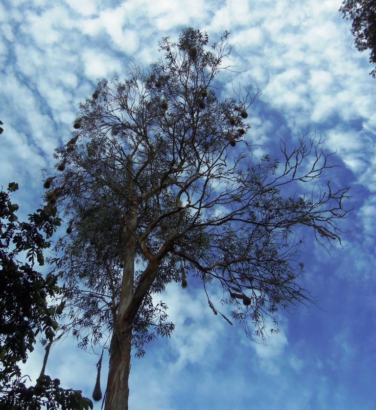 Oropendola nests hanging from a eucalyptus tree, Sol y Luna, Coroico, compressed