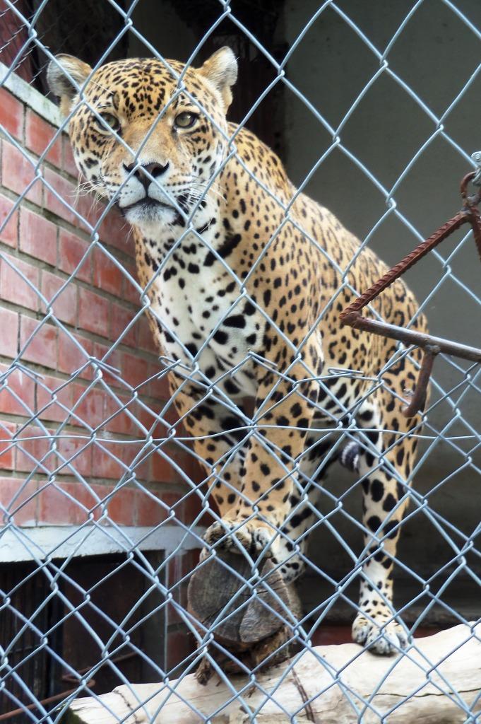 Jaguar, compressed