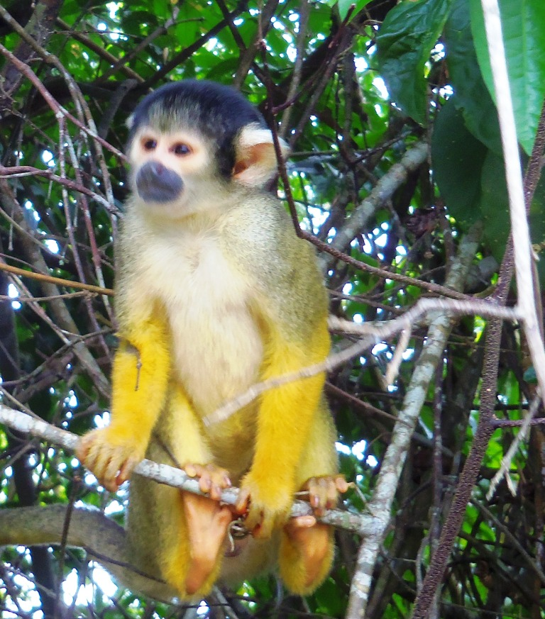 Squirrel monkeys 3 compressed